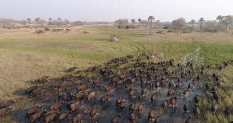 Aerial view of a large herd of buffalo moving through water in the plains of the Okavango Delta, Botswana