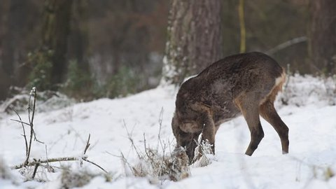 Roe deer search feed on the forest meadow, winter, (capreolus capreolus)