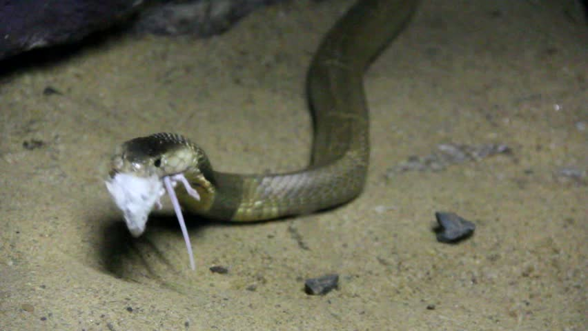 Cobra eating/ Thai Cobra eating the mouse