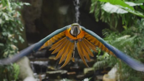 Slow motion flight of the blue-and-yellow macaw (Ara ararauna), also known as the blue-and-gold macaw,  is a large South American parrot with blue top parts and yellow under parts, flying against trop