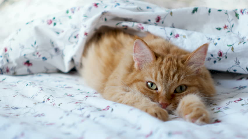 Cute ginger cat lying in bed. Fluffy pet comfortably settled to sleep under blanket. Cozy home background with funny pet. | Shutterstock HD Video #32669272