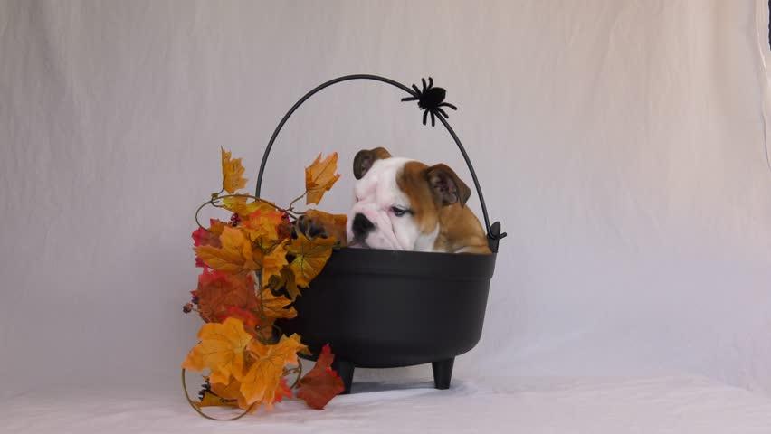 English bulldog puppy exits his halloween cauldron | Shutterstock HD Video #32676559