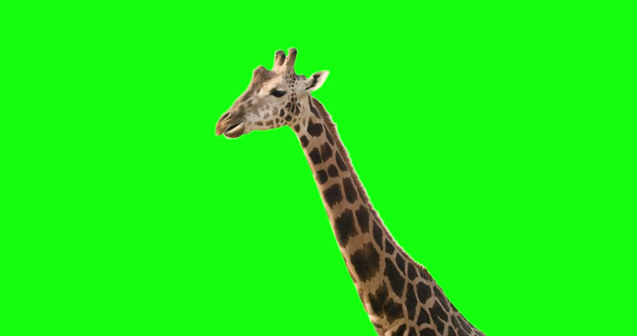 Green screen shot of a giraffe looking to the camera while eating and exiting frame.