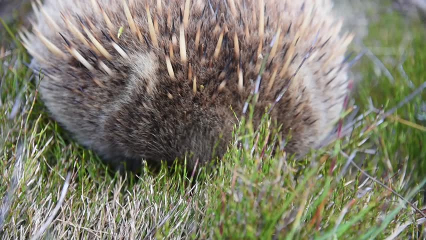 Close Up of Echidna Forraging In Grass - Cradle Mountain Tasmania