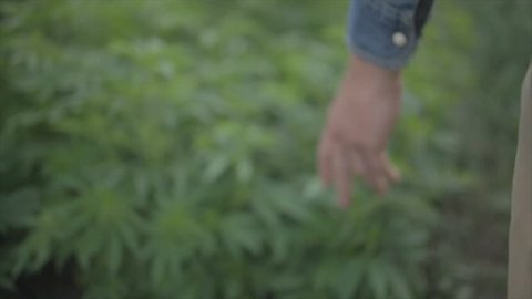 Marijuana farmer touches plants as he walks through farm, slo-mo.