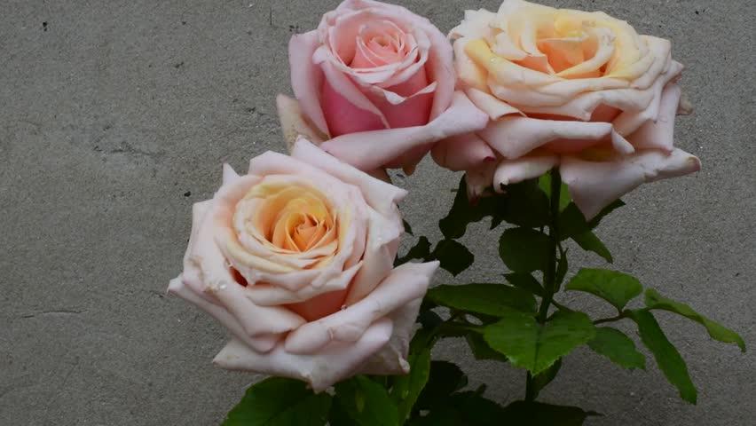Beautiful roses close up   Shutterstock HD Video #32917372