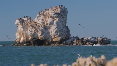 A pair of swans and a croud of sea ravens on the sea rocks 4K