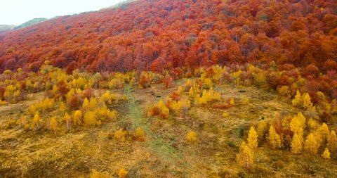 Red beech trees. Flying above beautiful autumn forest in Carpathian mountains. Aerial view. Beautiful vibrant fall colors of woodland in autumn. Colorful deciduous trees.