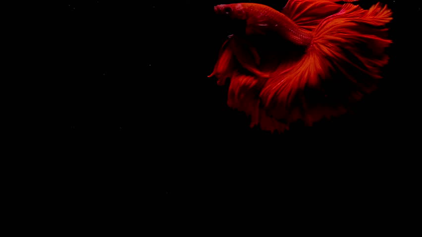 Colorful red Thai Fighting Fish or better known as Siamese Fighting Fish Betta Splendens in super slow motion on black background