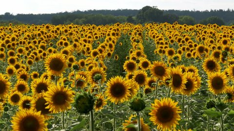 Sunflowers in the Field Swaying in the Wind. Close-up. Beautiful fields with sunflowers in the summer.