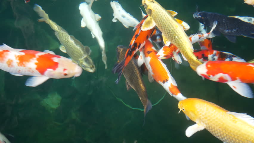 Colorful Koi fish swimming in pond | Shutterstock HD Video #33020272