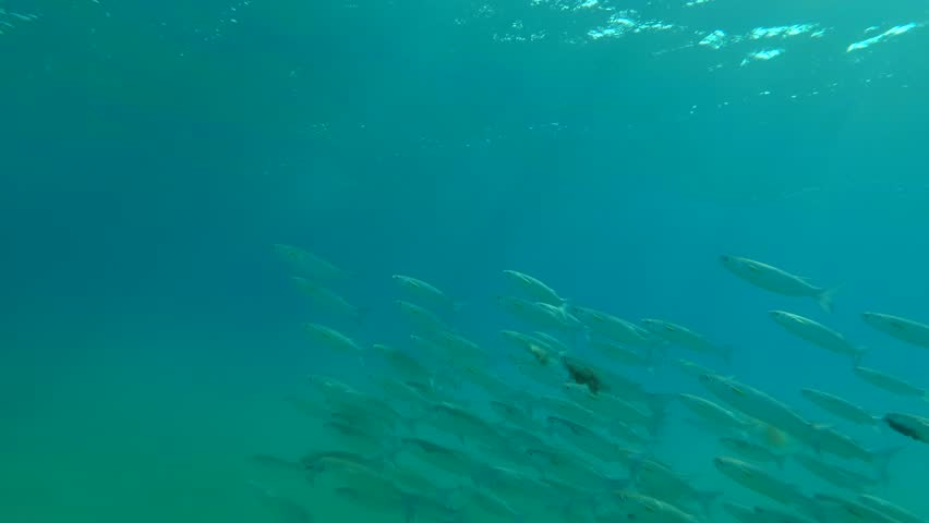 A large school of Striped Mullet (Mugil cephalus) swims on the blue water, Red sea, Marsa Alam, Abu Dabab, Egypt | Shutterstock HD Video #33031903