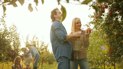 Nice attractive maried couple sorting apples from a basket while standing near an apple tree in the orchard. Their daughter and parents on the background. Harvest time. Outdoors