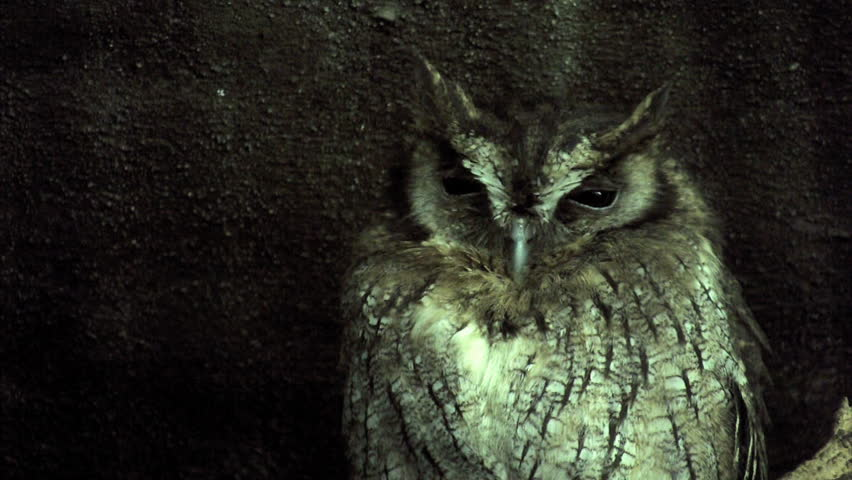 wise old screech owl