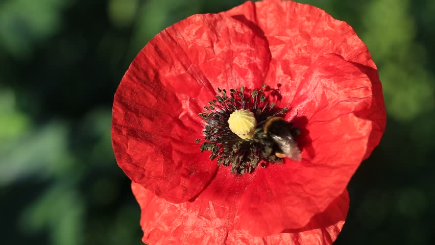 Red poppy flowers in a field free stock video footage download clips from videvo mightylinksfo Choice Image