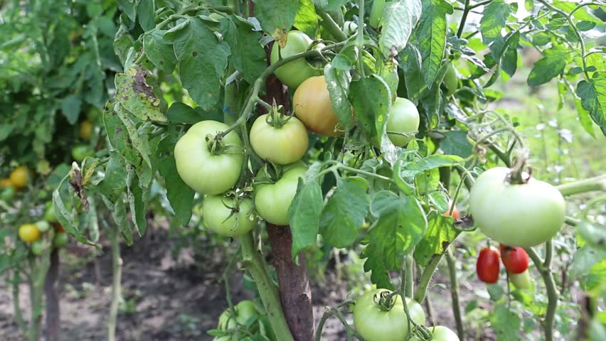 Unripe tomatoes in hothouse