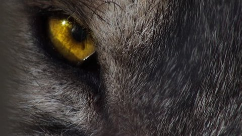 Wolf head with yellow eye, artificial colored