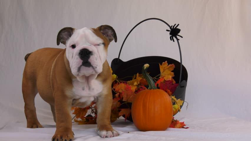 English bulldog puppy halloween scene | Shutterstock HD Video #33237772