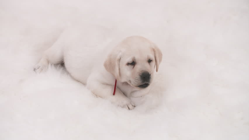 Golden Retriever Puppy Dog Panting Stock Footage Video 100 Royalty Free 33268252 Shutterstock