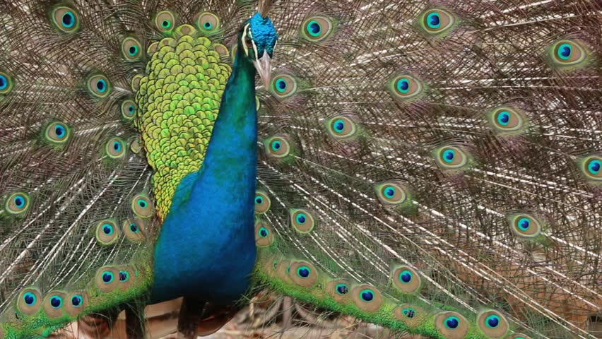 Peacocks and psalms in temples | Shutterstock HD Video #33293392