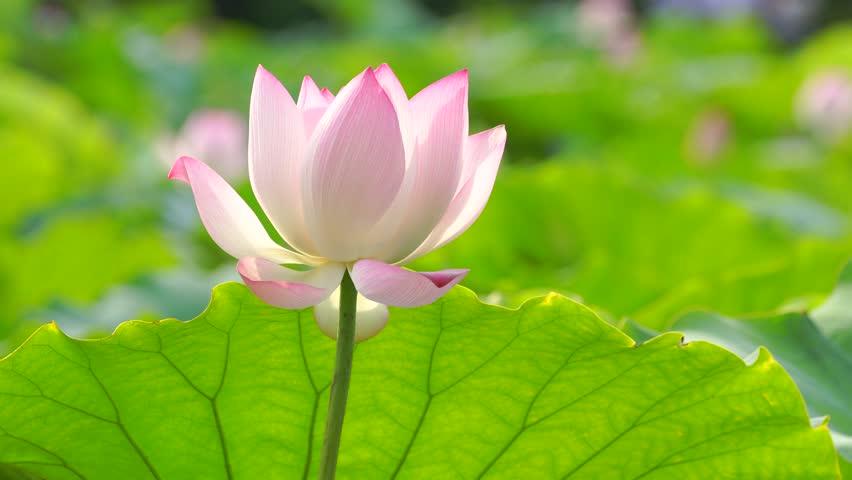 Stock video of beautiful lotus flower blooms in the 33305422 stock video of beautiful lotus flower blooms in the 33305422 shutterstock mightylinksfo