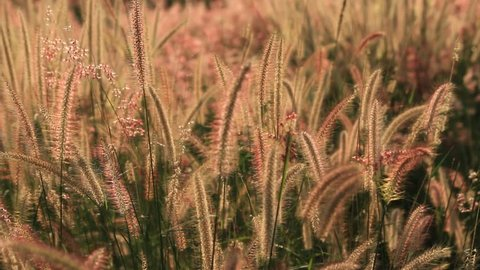 Grass flower on the wind