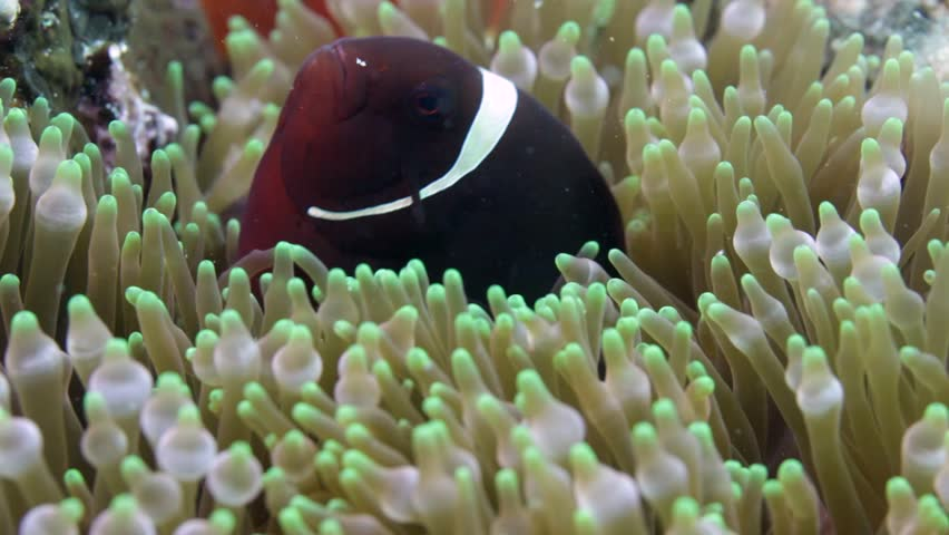 Nemo clown fish in the anemone on the colorful healthy coral reef. Anemonefish hiding underwater in it's host actinia. Scuba diving coral reef scene with nemo and anemone. | Shutterstock HD Video #33355582