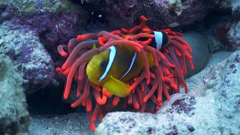 Clown fish, anemone fish hiding in bright red fluorescent sea anemone (actinia). Nemo fish in colourful underwater environment.