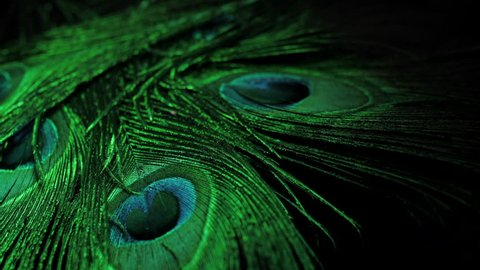 close up of rotating peacock feathers. Green neon light