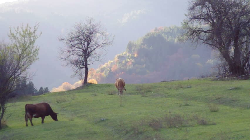 Ecological rearing cows up the mountain.