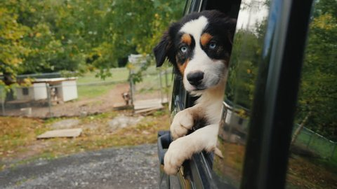 The dog leaves the animal shelter. Looks out of the car window, in the background, cages and booths with dogs. Adopting a pet concept