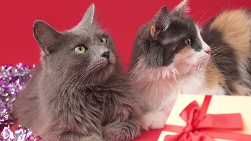 Nebelung cat and Turkish Angora in a celebratory setting with a gift. Birthday, Christmas, New Year, anniversary celebration concept. | Shutterstock HD Video #33418852