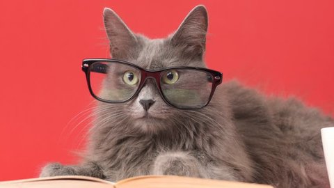 Close up portrait of a Nebelung cat leaning on an open book while wearing reading glasses. Isolated on red background. Education, science, studying, learning concepts.