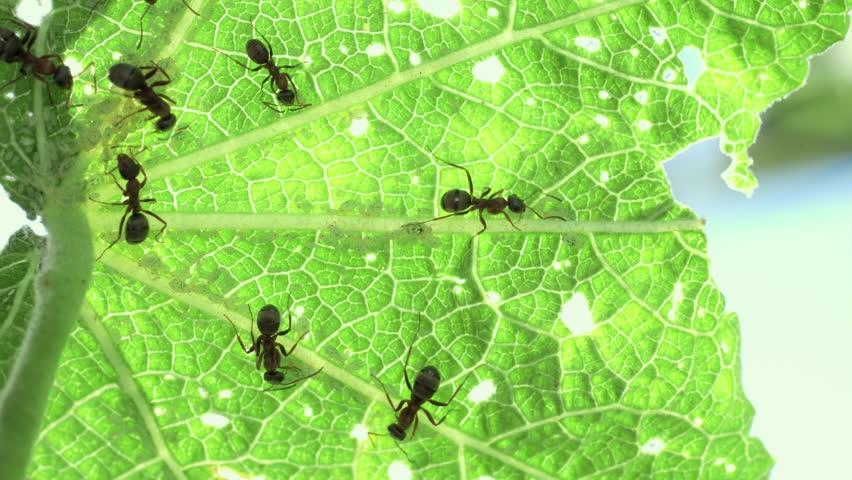 Black ants milking aphids on backlit leaf