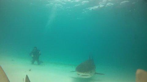 Tiger Shark Bites Camera