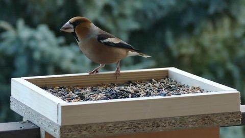 Nice hawfinch feeding