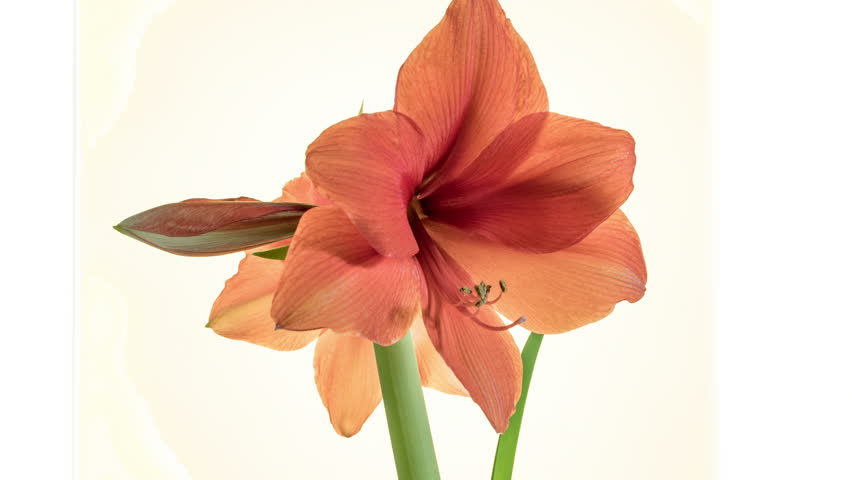 Opens the flower Bud of Amaryllis Time Lapse