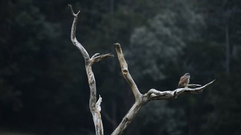 Bird standing on a branch dry at evening,Common kestrel