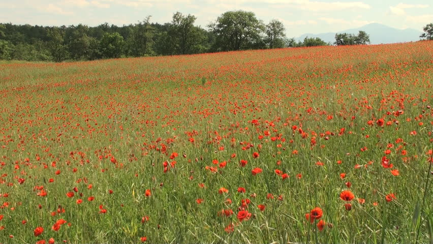 Large field of poppy flowers in Tuscany swaying in the wind