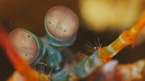 Peacock Mantis Shrimp Eyes Close-up 4K