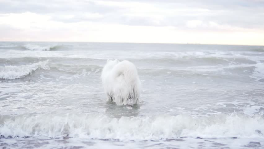 Cute samoyed dog is playing with waves in the ocean or sea. Slowmotion shot | Shutterstock HD Video #33710152