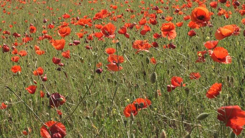 Field of poppy flowers in Tuscany swaying in the wind