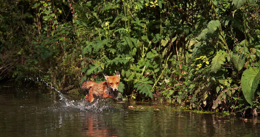 Red Fox, vulpes vulpes, Adult crossing River, Normandy in France, Slow motion 4K