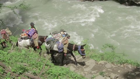 Pack horses carrying a load of luggage walking next to a mountain river, Himalaya, Uttarakhand, India (2017)