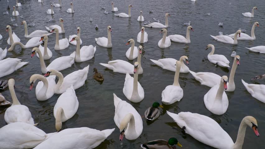 Mute swan in the city | Shutterstock HD Video #33937552