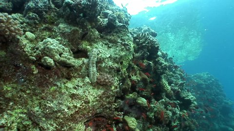 Bohadschia Graeffei sea cucumbers underwater in Egypt. Relax video about Holothuroidea invertebrates Echinodermata.