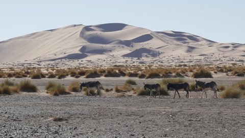 Wild donkeys walking in the Moroccan Sahara desert with sand dunes in the background – 4K