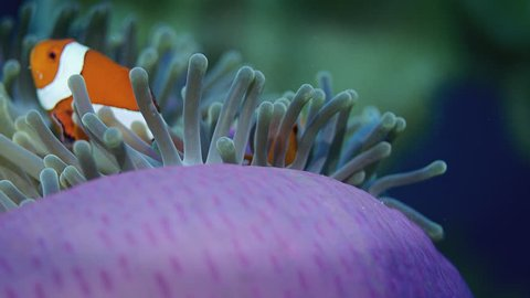 false anemonefish or  Clownfish, Amphiprion ocellaris, is hiding in a anemone, Wakatobi, Indonesia, slow motion