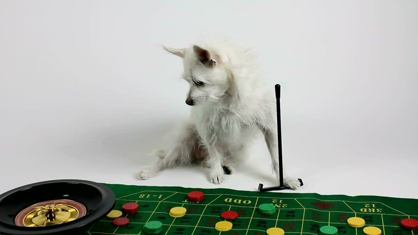 Dog, an adorable, white Chihuahua mix, runs roulette table, holds sweeper, watches ball roll...and the number is!  Fun gaming concept.