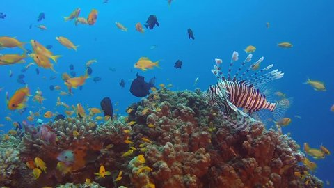 Lionfish with Colorful Reef. Picture of colorful tropical common-lionfish (Pterois miles) and corals in the tropical reef of the Red Sea, Dahab, Egypt.